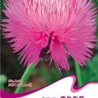 花卉种子香矢车菊种子兰芙蓉香芙蓉芙蓉花翠菊种子40粒/包