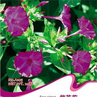花卉种子紫茉莉草茉莉地雷花茉莉花容易生长好活20粒/包