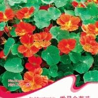 花卉种子垂吊金莲花种子旱荷花喜温暖/湿润8粒/包