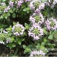 香草种子百里香种子香草植物麝香草香料可食用
