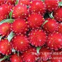 花卉种子大花千日红种子千日草千日粉火球