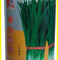 富生韭菜—寒赛雪松抗寒性特强超高产高抗病原厂彩装300g