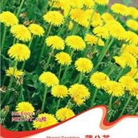 各色品种的蒲公草西洋蒲伞花野生曲麻菜蒲公英种子50粒/包