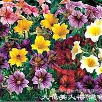 花卉种子大花美人襟智利喇叭花朝颜烟草种子