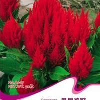 凤尾鸡冠花种子花卉种子可抗污染净化空气抗辐射花可烹饪药用