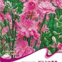 花卉种子批发香草种子粉仕女飞燕草阳台盆栽花卉种子四季种植