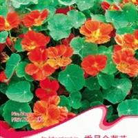 花卉种子垂吊金莲花种子可阳台种植观赏约8粒