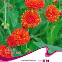 花卉种子批发一点红花种子(红叶草石青红)芬香食用药用50粒