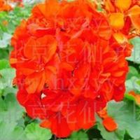 花仙子天竺葵种子6粒粉紫红白色四季可播别号:绣球花洋葵
