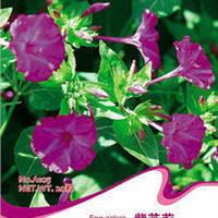 紫茉莉种子傍晚至清晨开花黄昏时散发茉莉浓香烈日时团合