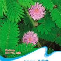 含羞草种子风笑草容易栽培趣味植物轻触叶片会迅速合拢