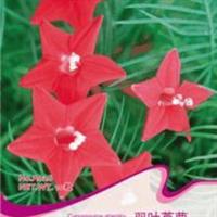 【茑萝种子】五角星花爬藤庭院阳台遮阴盆栽花卉种子籽10粒