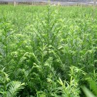 批发红豆杉种子、南方红豆杉、南方红豆杉种子、红豆杉种子价格