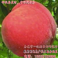 供应小龙干九峰樱桃苗木树苗果苗亩产超5000斤