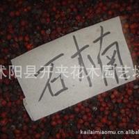 低价批发石楠种子1-2年树苗工程苗石楠苗
