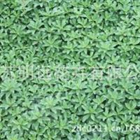 大型农场供应德景天苗种苗观叶植物苗园林景观工程专用苗