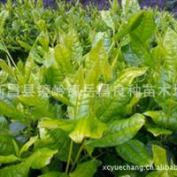 厂家热销纯正新品种黄金芽2号茶叶苗