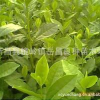 厂家批发国家无公害浙农139茶叶苗