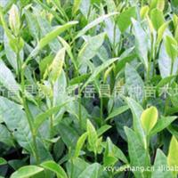 厂家专业生产成活率高黄观音茶苗