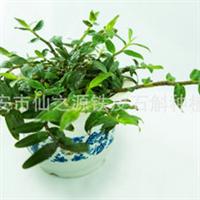 厂家生产铁皮兰鲜条优质铁皮石斛兰铁皮兰盆栽