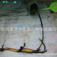 河北菡艺公司批发种植优质耐寒荷花藕苗