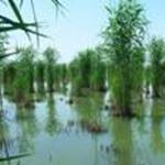 河北芦苇苗批发种植公司