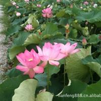 供应莲苗水生植物荷花莲花荷花种苗花卉种苗(图)