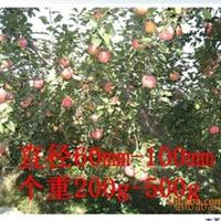 """""""专业生产""""批量供应""""苹果苗大规格定值国光树苗"""