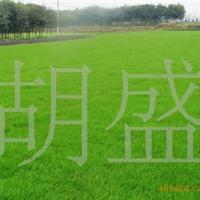 供应一年生黑麦草草皮运动场草皮亚热带草坪东安草坪批发