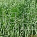 供应一年生黑麦草运动场草坪亚热带草坪草坪低价批发