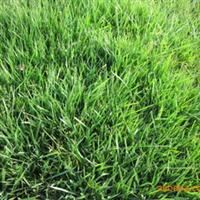 大量常年供应优质足量百慕大黑麦草混播草坪低价批发