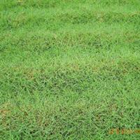 供应大量优质爬根草草坪欢迎新老顾客选购低价批发