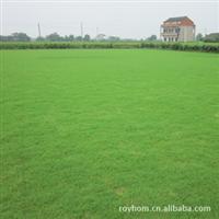 大量供应优质专业419天堂草坪欢迎选购低价批发