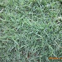矮生百慕大无土草坪果岭草足球场草坪高尔夫球场低价批发