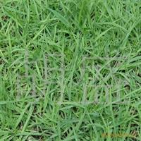 大量供应优质专业狗牙根草坪欢迎电话咨询