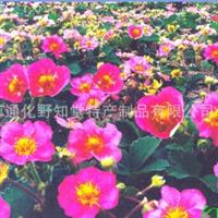 出售红花草莓苗出售绿化红花草莓苗出售草坪用红花草莓苗