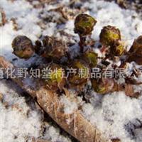 出售冰凉花苗,出售顶冰开放的冰凉花苗,出售濒危植物冰凉花苗