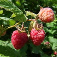 出售美国黑树莓苗出售耐寒黑树莓苗出售当年j挂果黑树莓苗