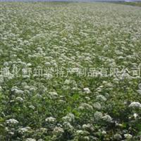 出售辽藁本种子出售纯东北藁本种子出售藁本种子