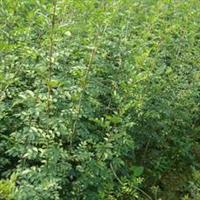 对节白蜡种子种苗一年生二年生种苗