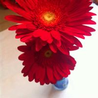 非洲菊(绿心红)云南昆明斗南花卉优质批发