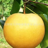 质量保证中熟梨苗红星表现丰产稳产
