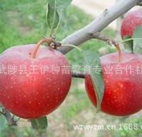 长期供应红珍珠苹果苗极耐贮藏可溶性固形物含量高