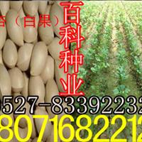 出售:银杏种子白果种子(保质保量货到付款)