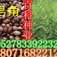 批发供应皂角种子(质量保证货到付款)