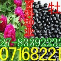 出售牡丹种子重瓣(保质保量货到付款)