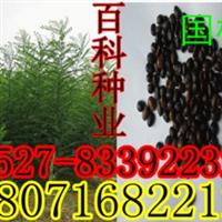 批发供应:国槐种子槐树种子(保质保量货到付款)