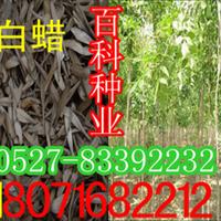 批发供应:白蜡种子每斤1.5万粒左右(货到付款)