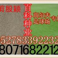 供应:细弱剪股颖草坪种子细弱剪股颖种子(保质保量货到付款)