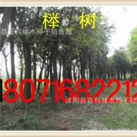 低价出售:榉树20-50公分1千株(货到付款)